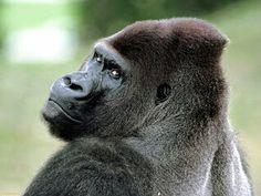 108 awesome gorillas images primate primates animal pictures rh pinterest com