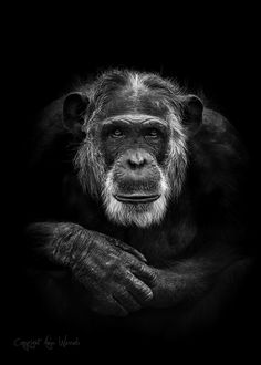 Grey old man - A monochrome version of a portrait of Mike the gray old beautiful chimpanzee in Dierenpark Amersfoort. Animals Black And White, Black And White Face, Beautiful Creatures, Animals Beautiful, Cute Animals, Primates, Regard Animal, Magnificent Beasts, Photo Animaliere