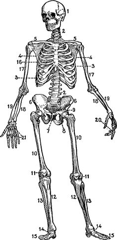 Antique Drawing of a Skeletal Chart. This would be cool printed on antiqued paper and placed in a painted frame!