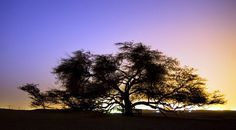 Mesquite Tree of Life