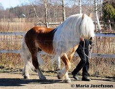 I love this horses long mane. Just beautiful! Odin (57) 1986 Nordsvensk Brukshäst (North Swedish horse)