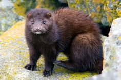 The American mink has also been introduced to large portions of Europe where it is classified as an invasive species, linked with the decline of several native species including the European mink.