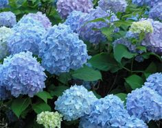 Hydrangeas, lovely natural blue which is a color so rare for flowers!