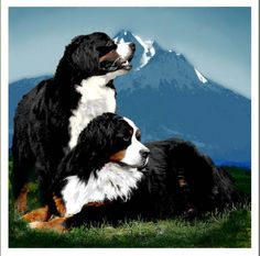The Art of a Bernese Mountain Dog