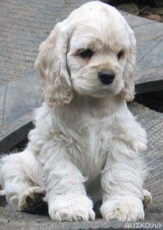 Cocker Spaniel puppy cutie pie via @KaufmannsPuppy