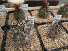 Pyrrhocactus megliolii R559 Marayes Arg.