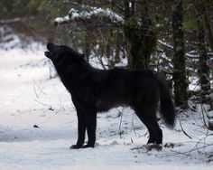 Black Wolf with Red Eyes | black wolf howling the black wolf is still around and he is just as ...