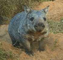 Northern hairy-nosed wombat Photo: EHP Critically endangered Australian marsupial