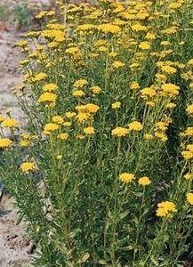 Pase Seeds - Achillea Yarrow Ageratum Moonwalker Perennial Seeds, $3.99 (http://www.paseseeds.com/achillea-yarrow-ageratum-moonwalker-perennial-seeds/)