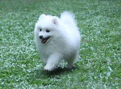 Shanspitz Kennels - Breeder of Japanese Spitz Spitz Breeds, Spitz Dogs, Dog Breeds, Japanese Spitz Puppy, Animals Beautiful, Cute Animals, American Eskimo Dog, Samoyed Dogs, Cute Baby Dogs