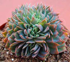 Echeveria sessiliflora crestada