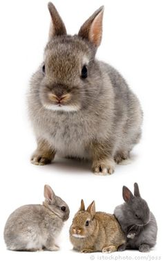 Netherland Dwarf Rabbit (pet website)  -- I think I'd get this type of rabbit next time I have a rabbit.