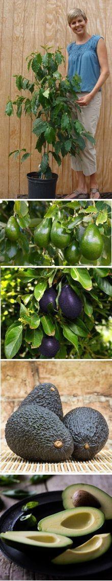 grow avocados