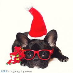 """Merry Christmas!"", French Bulldog in Santa Costume."