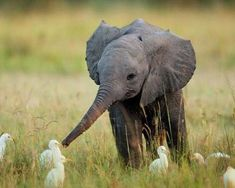 Baby elephant playing with birds Friendships can come in all shapes and sizes Photo by attackofthecute.com Sep 11, 2012   Animals unlikely friendships (in pics) - Page 4 - - Photos - General - Yahoo!7 Lifestyle