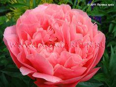 пион Pink Hawaiian Coral: 10 тыс изображений найдено в Яндекс.Картинках Rose, Flowers, Plants, Image, Pink, Plant, Roses, Royal Icing Flowers, Flower
