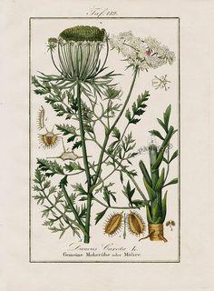 "Antique prints of ""Daucus carota"" from Eduard Winkler Medicinal Prints 1832"