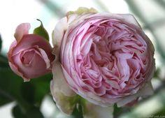 perennial blush garden roses rosen tantau roses pinterest gardens blusher and perennials. Black Bedroom Furniture Sets. Home Design Ideas