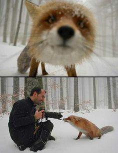 Curious fox…