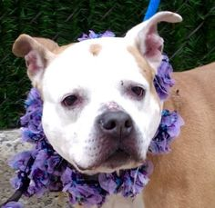 """JUSTICE - A1102727 - - Manhattan  TO BE DESTROYED 02/19/17 A volunteer writes: After seeing her """"intake"""" picture and reading what her owner had to say about her, I so wanted to meet Justice. I expected to see a big chunky mama and thought at first that I """"had"""" the wrong dog. The kennel card and the collar matched…Justice it was, much smaller than I imagined and all wiggly in her kennel. Justice looks quite serious, though, and I wonder if she e"""
