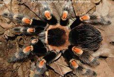 Tarantula Hub: Top 10 tarantulas for beginner Scorpion, Mexican Red Knee, Pet Tarantula, Pet Spider, Online Images, Insects, Animals, Hobbies, Spiders
