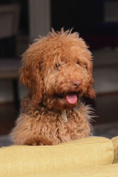 This is a DownUnder Paisley puppy at 6 months. He's so gorgeous! Labradoodles, 2 Months, Paisley, Puppies, Animals, Cubs, Animales, Animaux, Labradoodle