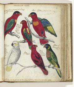 Ambonse vogels, Jan Brandes, 1784