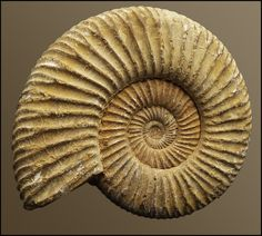 Fossil Spiral by Lazy-Photon on DeviantArt Octopus, Bath Bomb Molds, Ammonite, Rocks And Gems, Fossils, Decoration, Shells, Greeting Cards, Throw Pillows
