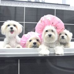 Throwback to the time Mummy thought bathing us together would make it more fun! Follow @maltese_dog_love for more via @maltese_puppy_teddy Love to tag? Please do! - #maltese #maltesedoglove #maltesers #maltese101 #maltesedog #maltesepuppy #malteseofficial #malteselover #malteselovers #malteseofinstagram #malteser #dog #dogs #puppy #dogsofinstagram #instadog #dogstagram #ilovemydog #dogoftheday #lovedogs #instagramdogs #doglife #doglove #dogsofinstgram