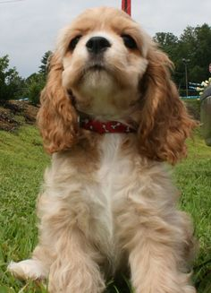 "Check out our website for more information on ""spaniel puppies"". It is an excellent spot for more information. Perro Cocker Spaniel, American Cocker Spaniel, Cute Puppies, Cute Dogs, Dogs And Puppies, Doggies, Beautiful Dogs, Animals Beautiful, Cavalier King Charles Spaniel"