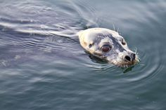 Local seal swims up to a pier in Nanaimo harbour. Terrifying when seen by first time kayakers. West Coast, Vancouver, Seal, Haha, Swimming, Canada, City, Places, Nature