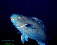 Blue Parrotfish,Photo by Ron Lucas.