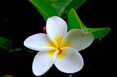 Hawaiian Flowers   Hawaii Flowers