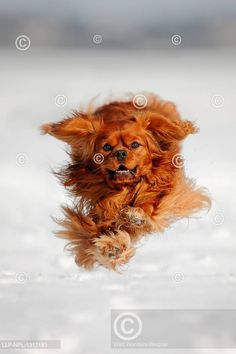 Cavalier King Charles Spaniel running over snow King Charles Spaniel, Cavalier King Charles, Dog Lovers, Teddy Bear, Snow, Running, Dogs, Cute, Animals
