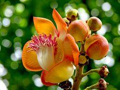 Abricó-de-macaco (Couroupita guianensis)- Cannonball.