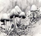 "Mushrooms, graphite and ink, 4"" x 6""  https://www.reddit.com/r/Art/comments/4slnna/mushrooms_graphite_and_ink_4_x_6/"