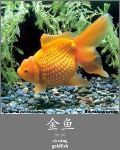 金鱼 - jīnyú - cá vàng - goldfish