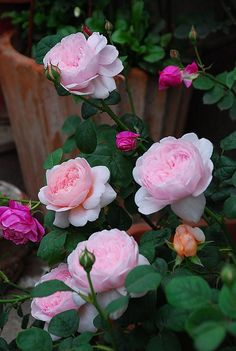 Queen of Sweden 瑞典女王 my garden Hd Flowers, Beautiful Rose Flowers, Amazing Flowers, Beautiful Gardens, Beautiful Flowers, Morning Rose, Morning Flowers, Rosa Rose, Coming Up Roses