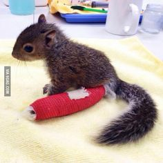 Baby squirrel fell and broke his leg.