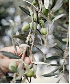 olive picking on the best extravirgin olive oil land: PUGLIA!!