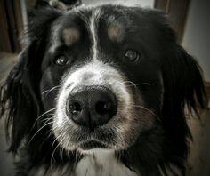 Nina the Bernese mountain dog