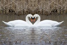 """Swans usually mate for life. Though """"divorce"""" sometimes happens following nesting failures or if a mate dies. #birdfacts"""