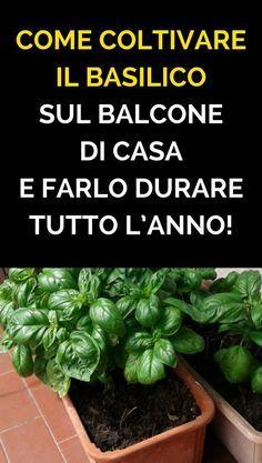 Come Coltivare Il Basilico Sul Balcone Di Casa E Farlo Durare Tutto Lu0027anno!
