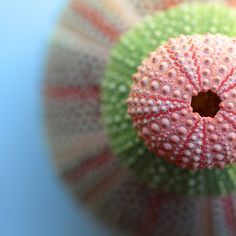 Sea Urchins - ©Machel Spence Photography (via Society6)