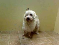 SAFE --- SUPER URGENT 1/5/14  Brooklyn Center    CHADO - A0988836   NEUTERED MALE, WHITE, MALTESE MIX, 11 yrs  OWNER SUR - ONHOLDHERE, HOLD FOR ID Reason COST   Intake condition GERIATRIC Intake Date 01/05/2014, From NY 11377, DueOut Date 01/08/2014  https://www.facebook.com/photo.php?fbid=736938496319032&set=pb.152876678058553.-2207520000.1388964505.&type=3&theater