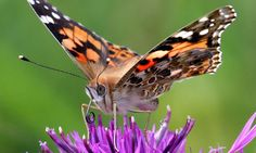 Butterfly Conservation is a British charity devoted to saving butterflies, moths and their habitats throughout the UK. Butterfly Facts, Butterfly Pictures, Monarch Butterfly, Holiday News, Holiday Park, Butterfly Migration, Rose Queen, Arctic Circle, Painted Ladies