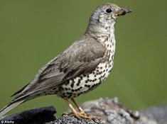 The Mistle Thrush is fast disappearing from the UK's gardens, wildlife experts warned today as they urged people to take part in an annual survey to collect information about bird species.  Results from the RSPB's annual Big Garden Birdwatch survey have shown that mistle thrushes are now being seen in fewer than half the number of gardens they were spotted in 10 years ago.
