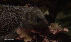 shirls gardenwatch: August 2011 hedgehog in heuchera