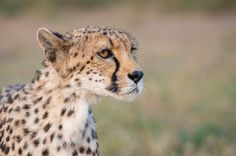 Cheetah by laurentmaggiore #animals #animal #pet #pets #animales #animallovers #photooftheday #amazing #picoftheday