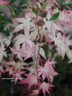 Acer palmatum 'Orido-nishiki'  (Variegated Japanese Maple) - The lacy and delicate leaves of Acer palmatum 'Orido-nishiki' have a pretty cream and pink variegation when they emerge in spring. This pink and white colour can also be found on the young growing stems. During the summer, the leaves then darken to an attractive pink, white and green.